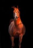 被隔绝的Galoping栗子阿拉伯公马 免版税库存照片
