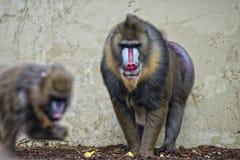 被隔绝的Mandrill猴子画象 免版税库存图片