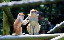 被隔绝的Patas猴子,赤猴patas 库存图片