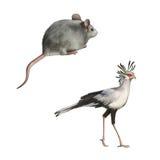 被隔绝的Secretarybird和逗人喜爱的灰色老鼠  图库摄影