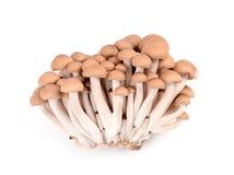 被隔绝的Shimeji蘑菇 免版税库存图片