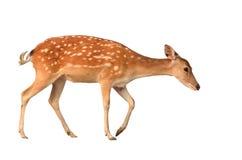 被隔绝的Sika鹿 库存照片