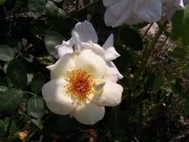 被集中的开放Topz珠宝玫瑰 免版税库存照片