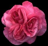 被集中的粉红色玫瑰三倍 免版税图库摄影