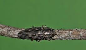 被雕刻的杉木钻眼工人甲虫从上面 库存照片