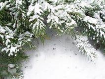 被雪包围住分行的冷杉 免版税库存图片