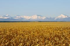 被雪包围住的山土坎beound一块金黄麦田 免版税图库摄影