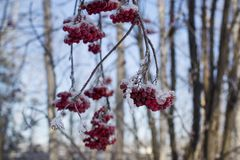 被雪包围住的花揪分支与束红色莓果 库存照片