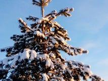 被雪包围住的杉木树 图库摄影