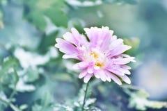 被雪包围住精美花桃红色的菊花 免版税库存照片