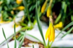 被雪复盖的黄水仙 免版税图库摄影