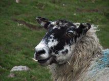 被震惊的绵羊 库存图片