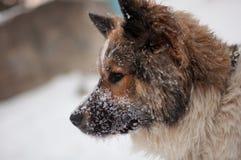 被霜蒙着的狗 免版税图库摄影