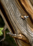 被风化的杉木 免版税库存照片