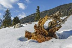 被风化的树根源树桩 免版税库存图片