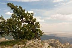 被风吹山顶的结构树 库存图片