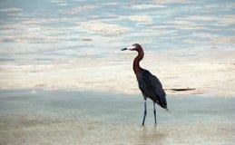 被风吹带红色白鹭狩猎在Isla布朗卡坎昆墨西哥潮汐水域中 库存照片