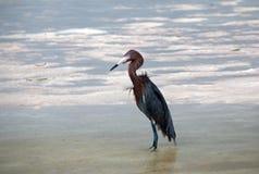 被风吹带红色白鹭狩猎在Isla布朗卡坎昆墨西哥潮汐水域中 免版税库存图片