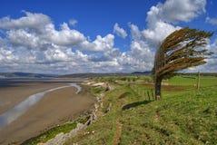 被风吹扫沿海的结构树 免版税图库摄影