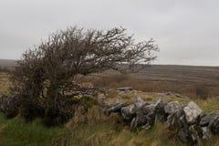 被风吹扫灌木, Burren国家公园,国家克莱尔,爱尔兰 库存照片