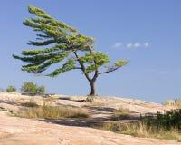 被风吹扫的杉树 库存图片
