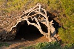 被风吹扫的杉树 库存照片