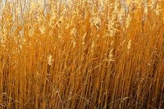 被风吹扫金黄的草在阳光下 免版税图库摄影