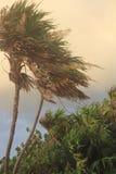 被风吹扫,喜怒无常的棕榈树 免版税库存照片