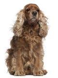 被风吹斗鸡家英国头发的西班牙猎狗 库存照片