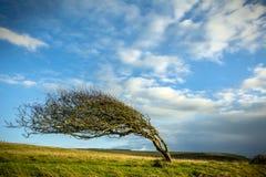 被风吹结构树 免版税库存照片
