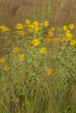 被风吹黄色野花 图库摄影