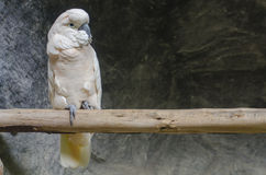 被驯化的美冠鹦鹉 免版税库存照片