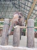 被驯服的大象 库存照片