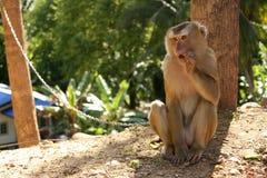 被驯服的短尾猿猴子坐树,泰国 免版税库存图片
