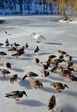 被驯服的野鸭和一只天鹅在冻池塘 免版税库存照片