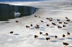 被驯服的野鸭和一只天鹅在冻池塘 免版税库存图片