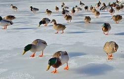 被驯服的野鸭在冻池塘 免版税库存照片