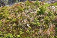被骚扰的树,在湖Laka, Šumava,捷克附近的树木丛生,多小山风景 免版税图库摄影