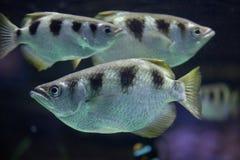 被结合的射水鱼喷水鱼类jaculatrix 库存图片