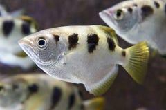 被结合的射水鱼(喷水鱼类Jaculatrix) 免版税库存照片