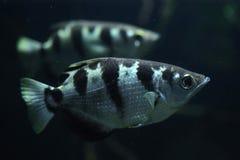 被结合的射水鱼(喷水鱼类Jaculatrix) 库存照片