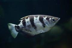 被结合的射水鱼(喷水鱼类Jaculatrix) 免版税库存图片