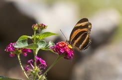 被结合的橙色蝴蝶, Dryadula phaetusa 免版税图库摄影