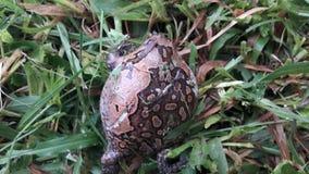 被结合的牛蛙 库存图片
