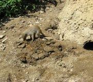 被结合的猫鼬吃 免版税库存图片
