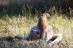 被结合的猫鼬坐死的树桩 图库摄影