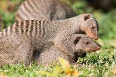 被结合的猫鼬拥抱 免版税库存图片