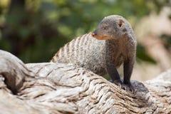 被结合的猫鼬是在树桩的监视 免版税库存照片
