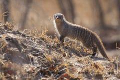 被结合的猫鼬是在树桩的监视 免版税库存图片