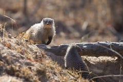 被结合的猫鼬是在树桩的监视 图库摄影